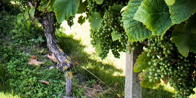 2014 bliver et super år for Dansk vin